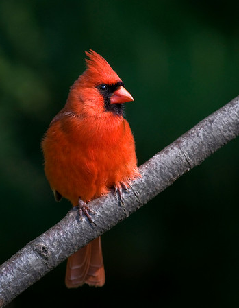 A male Northern Cardinal