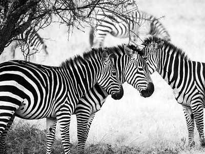 Zebra in Monochrome I