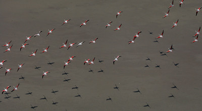 Flamingos, Mozambique
