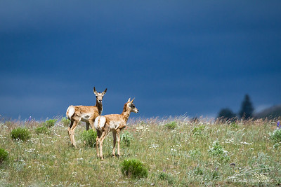 Twin Pronghorns against stormy skies