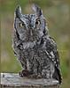 Screech Owl, Gray Phase - SOAR