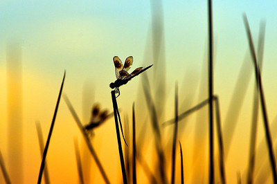DRAGONFLIES AT SUNSET.