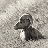 Bighorn sheep, Badlands National Park, South Dakota