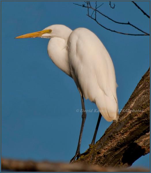 Great Egret 03 - Lombard, IL