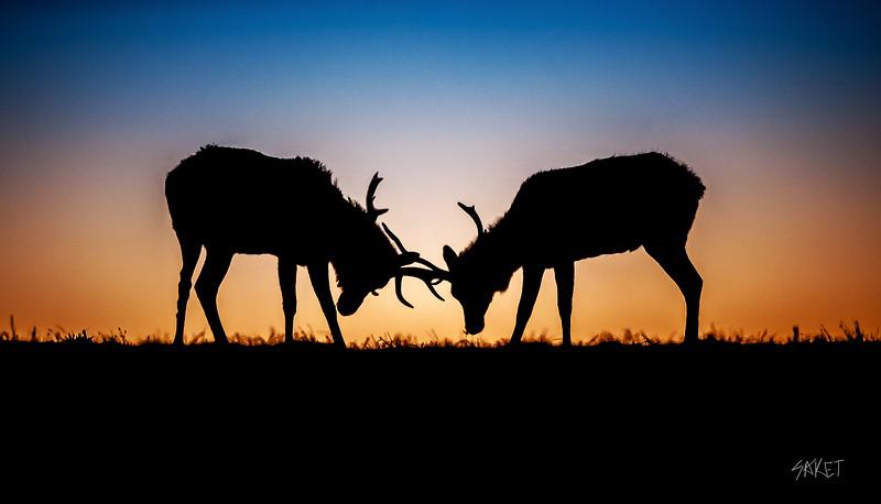 Tule Elk Fight