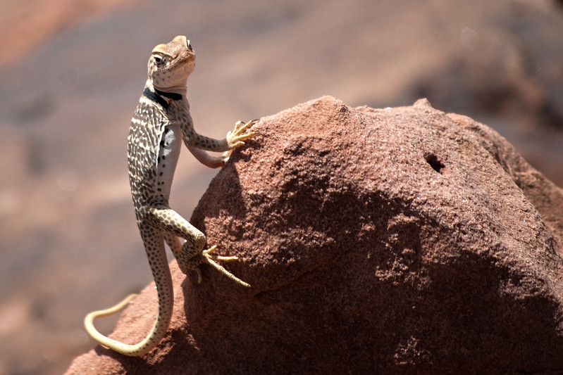 A Collared Lizard in the Grand Canyon National Park.