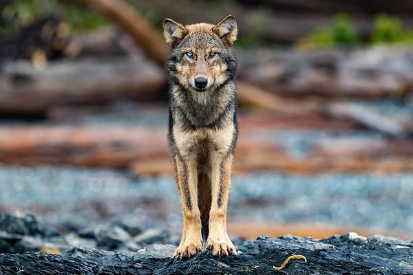 Sea Wolf Eyes