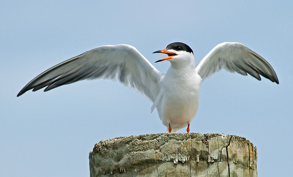Forster's Tern on a piling on Fire Island