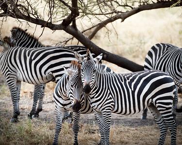 Zebra, Serengetti