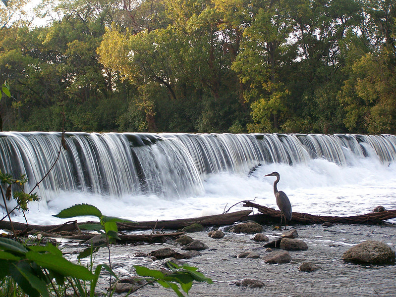 Great Blue Heron 05 - Heron's Waterfall - Oak Brook, IL