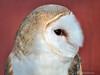 Barn Owl 2 - Itasca, IL