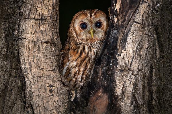 Tawny Owl, UK
