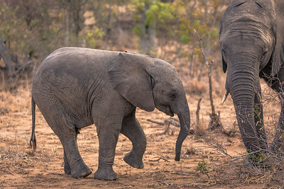 Young Elephant Dancing
