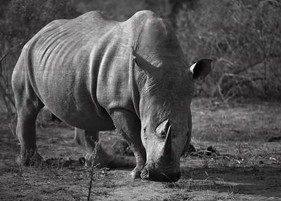 Scared Rhino