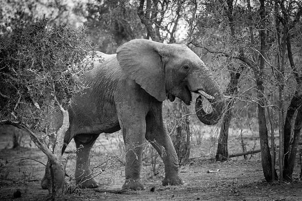 Elephant at Tangala