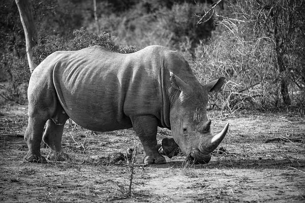 Rhino Posing, BW