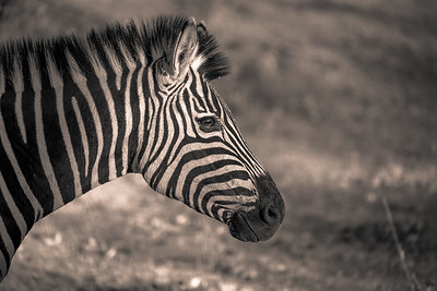 Zebra Profile BW