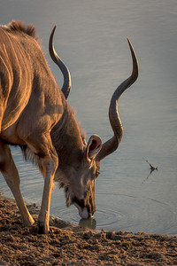 Kude Bull at the Watering Hole