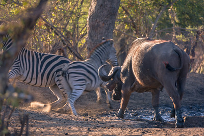 Buffalo Chasing Zebra