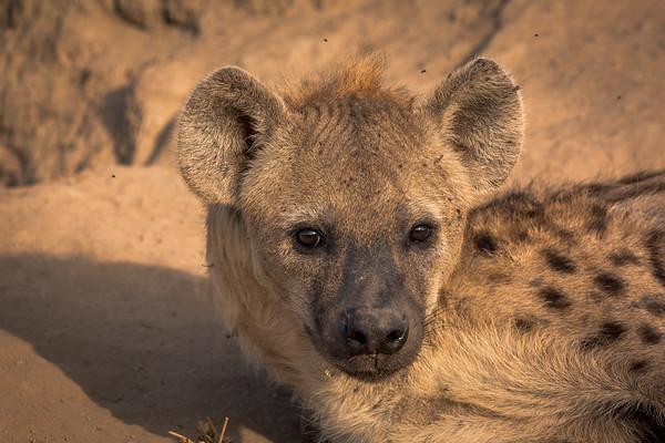 Hyena Eyes
