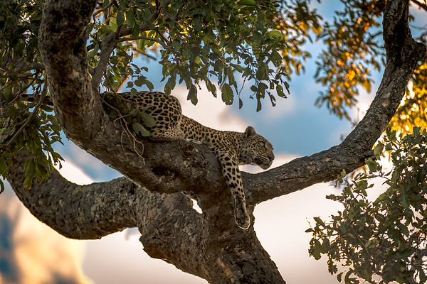 Rock Fig Surveying the Land, Leopard