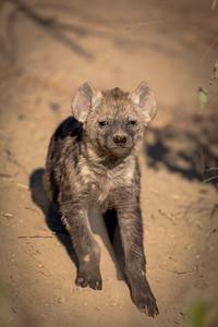 You Woke Me Up, Hyena Pup