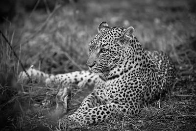 Rock Fig, Leopard Female