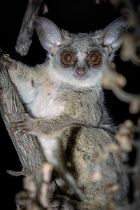 Bush Baby Close - Rukiya