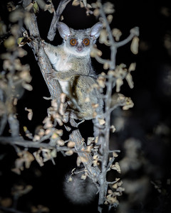 Bush Baby Far - Rukiya