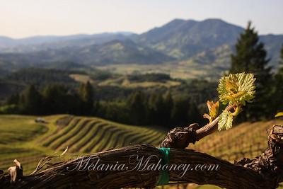 Bud Break, Napa Valley Hills