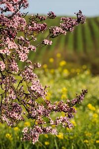 Carneros Spring, Sonoma Valley
