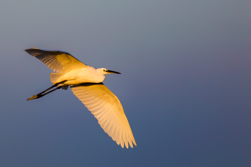 Intermediate Egret @ Sunset