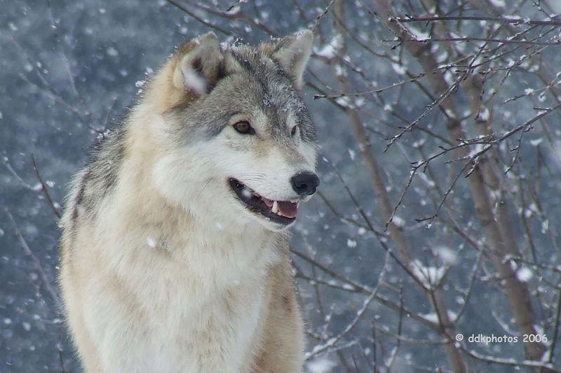 wolf0098