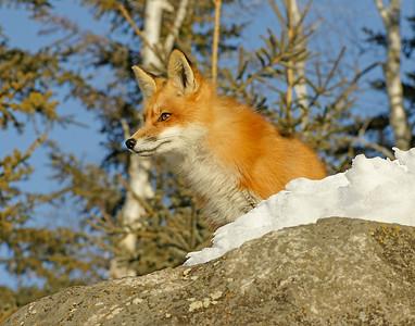 Red Fox 004
