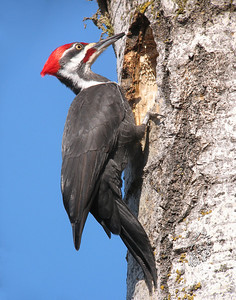 Pileated 004