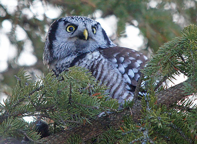 Northern Hawk Owl 003