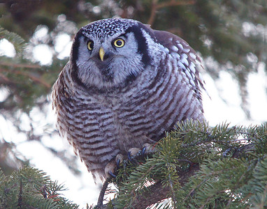 Northern Hawk Owl 006