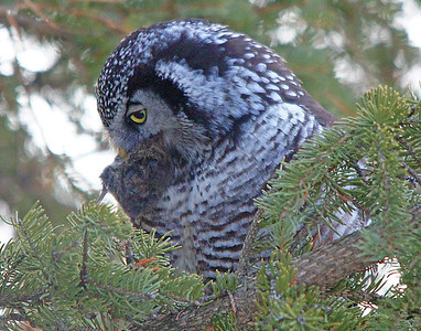 Northern Hawk Owl 004