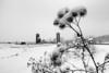 Snowy Burdocks - Stowe, VT