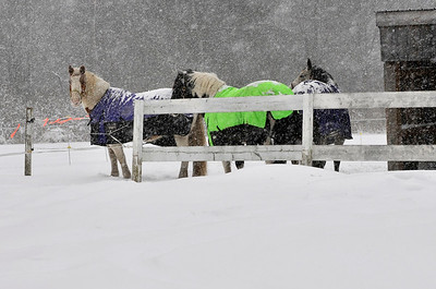 Horses in Winter Storm