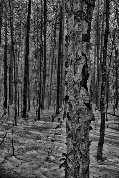 Paper Birch - Brookfield, VT