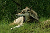 Walking with Wolves : Walking with Wolves from the UK Wolf Conservation Centre