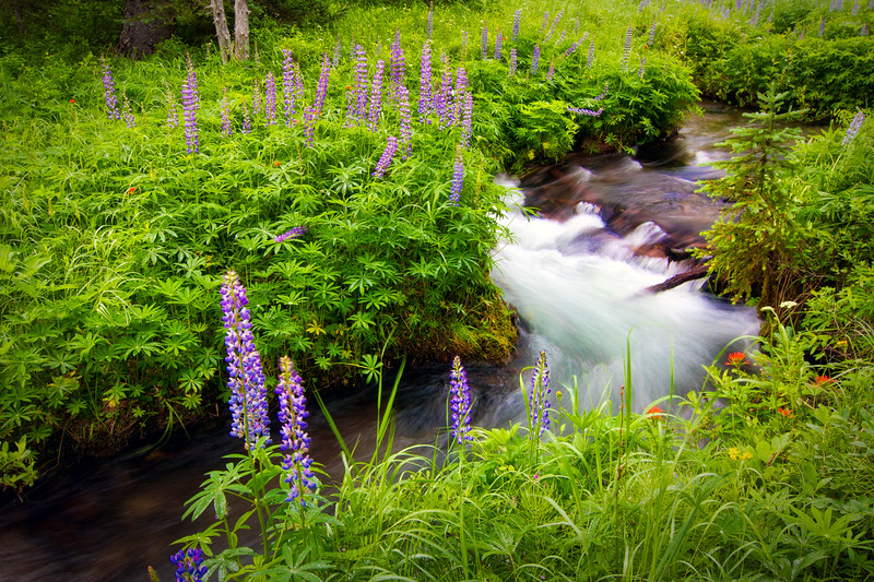 ~Dancing Lupines~
