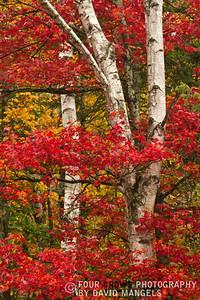 """""""Red Birch"""""""