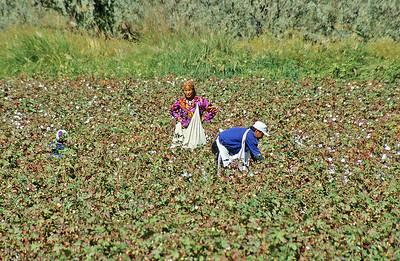 Cotton fields, Uzbekistan
