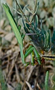 Praying Mantis (Mantis Religiosa) Camargue 2009 A.K.
