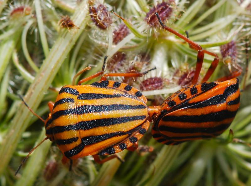 Striped Shieldbug (Graphosoma lineatum) Camargue 2009 by A.K.