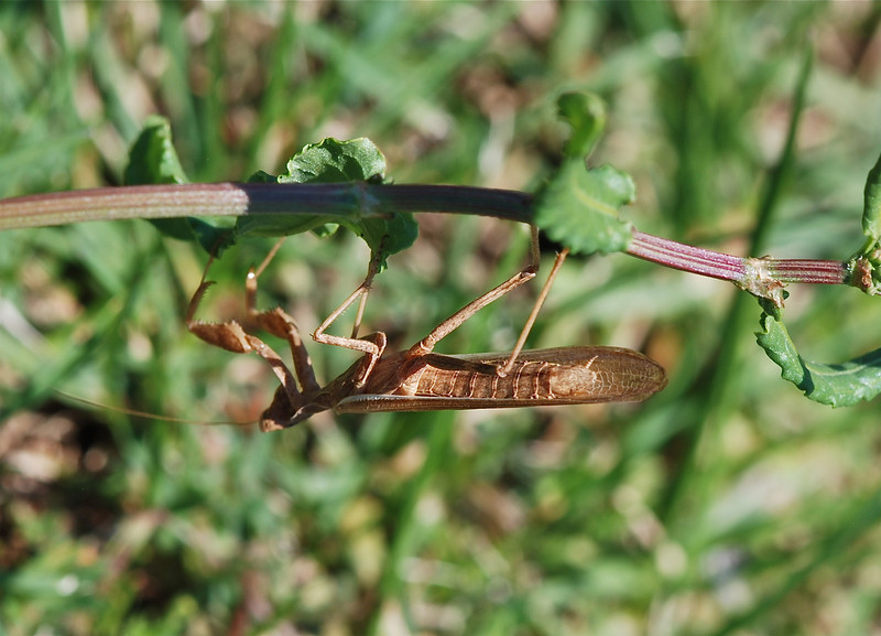 Praying Mantis, Sardinia 2010 by A.K.