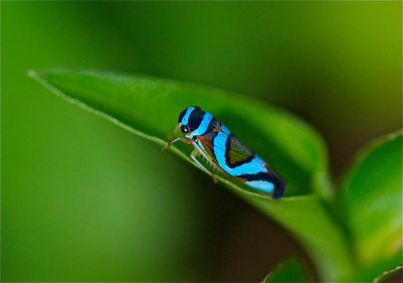 Leaf Hopper, Guyana  Rainforests, South America 2011 by A.K.
