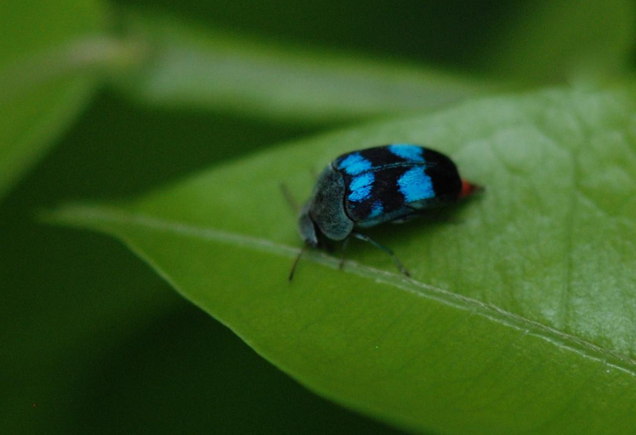Leaf Hopper - Guyana